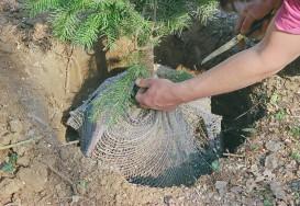 Planter un arbre en motte