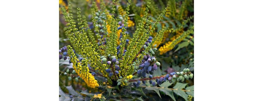 Arbres et arbustes à baies décoratives