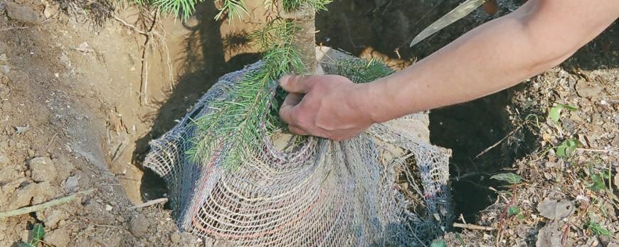 Planter un arbre en racine nues