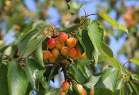 Les fruitiers et leurs pollinisateurs