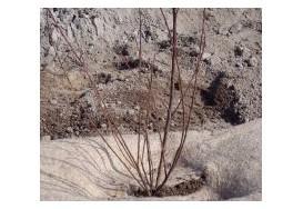 Planter un arbuste en racine nues