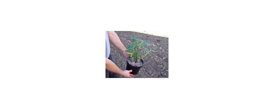 Planter un arbuste en conteneur